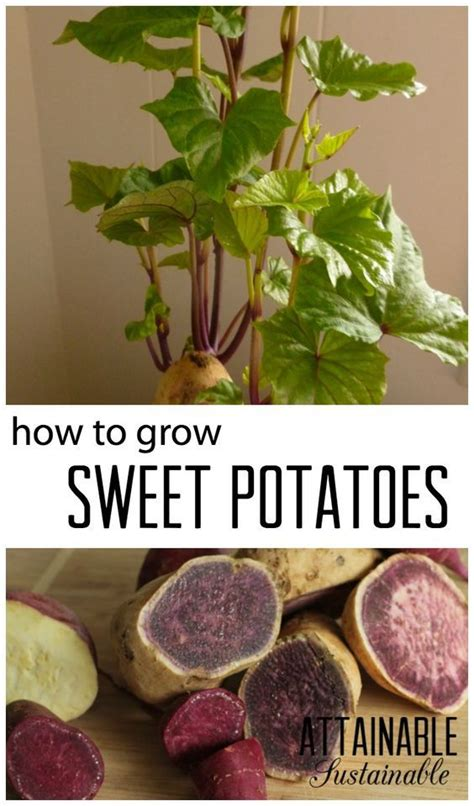 grow your own sweet potatoes outlaw garden 1000 ideas about plant cuttings on pinterest plant