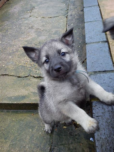 elkhound puppy elkhound puppies lincoln lincolnshire pets4homes