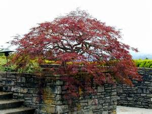 japanese maple pruning creative landscapes inc
