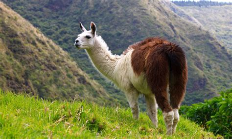 imagenes animal llama llama the biggest animals kingdom