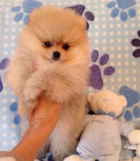 small pomeranian for sale pin tiny pomeranian puppies teacup on