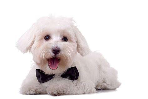 cani ideali per appartamento maltese scheda razza cani it