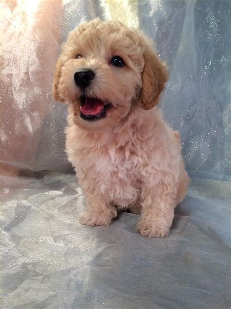 breeders in wisconsin miniature poodle breeders wisconsin dogs in our photo