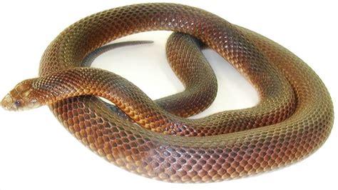 Light Brown Snake by Australia 2009 P Discover Australia The Dreaming King
