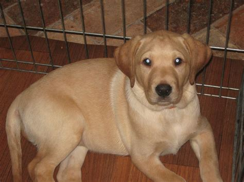 yellow lab puppies for adoption ready for adoption golden retriever rottweiler mixed medium image breeds picture