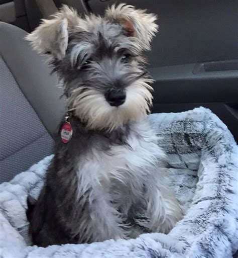 schnauzer puppies the 25 best schnauzer mix ideas on mini schnoodle miniature schnauzer