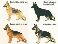 german shepherd color chart german shepherd colors on german shepherds