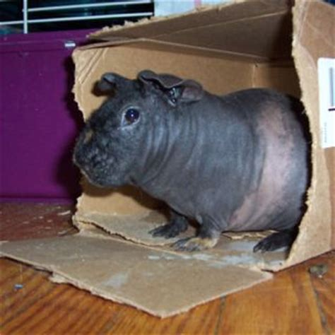house hippo skinny pig close enough to a house hippo keeping it real pinterest skinny pig