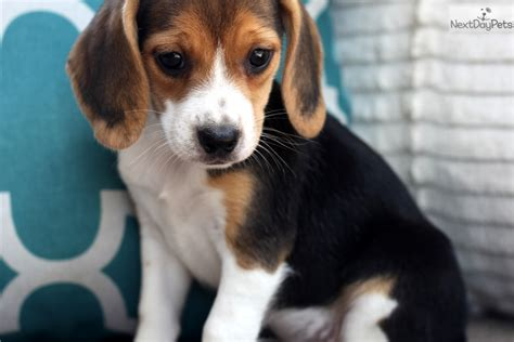 beagle puppies for sale near me beagle puppy for sale near southeast missouri missouri fac9642c 2781