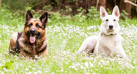 German Shepherd Also Search For White German Shepherd Breed A Complete Guide