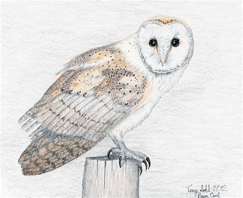 Barn Owl Sketch Pictures To Pin On Pinterest Pinsdaddy Barn Owl Drawing