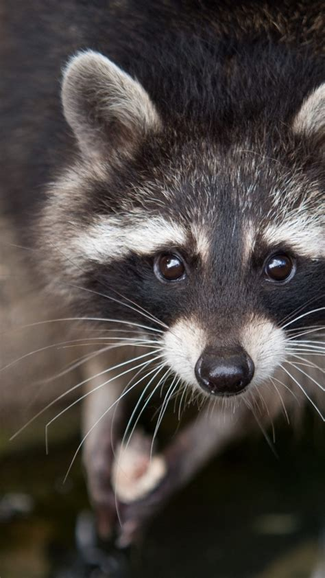 wallpaper raccoon eyes  fur close  nature