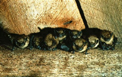 where to put a bat house in your yard cdc bats keeping bats out of your house rabies