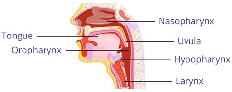 pharynx diagram image gallery throat diagram