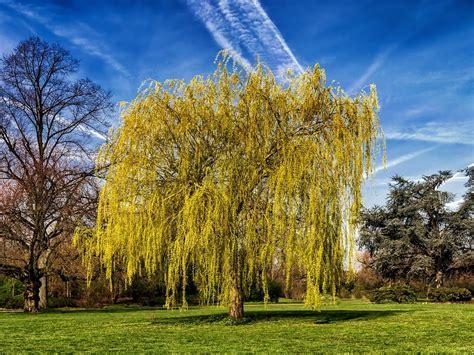 alberi ornamentali per giardino alberi ornamentali da giardino e sempreverdi
