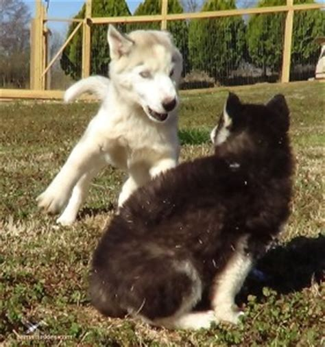 how much is a husky puppy how much do husky puppies cost siberian husky puppies for sale
