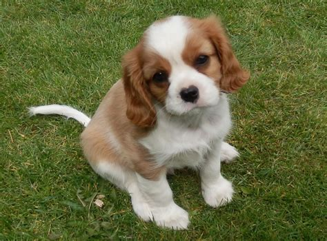 ruby cavalier king charles spaniel puppies for sale cavalier king charles spaniel puppies for sale doncaster south pets4homes