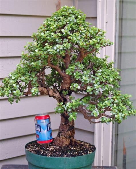 Indoor Bonsai Kaufen by 17 Best Ideas About Bonsai Plants On Bonsai