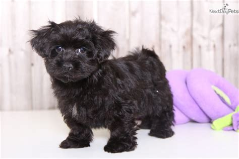 yorkie poo for sale in ohio xena yorkie poo black terrier for sale in columbus oh