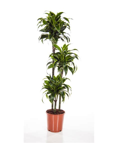 buy house plants buy house plants now dracaena 3 trunks dorado bakker com
