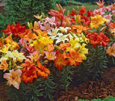 asiatic lily bulbs canecreeklilies com