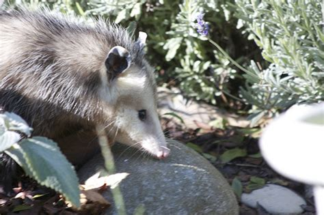 how to get rid of a possum in backyard possums how to get rid of possums