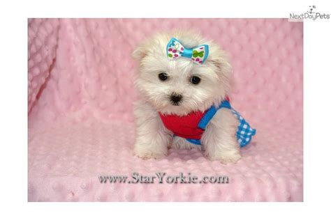 teacup maltese puppies for sale 300 maltese puppy for sale near los angeles california 507b400c cf01