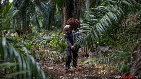 Minyak Kelapa Sawit Di Malaysia volume produksi meningkat harga minyak kelapa sawit