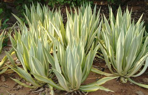 variegated agave century plant