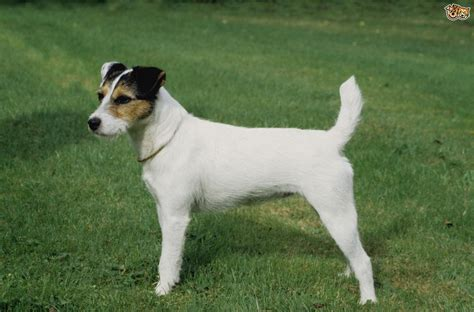 Parson Russell Dog Breed Information, Buying Advice