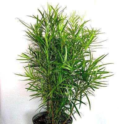 buy podocarpus macrophyllus buddhist pine fern pine