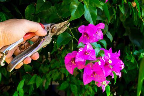 Bougainvillea Pflanze Winterhart 6740 by Bougainvillea Experten Tipps Rund Um Pflege Co Plantura