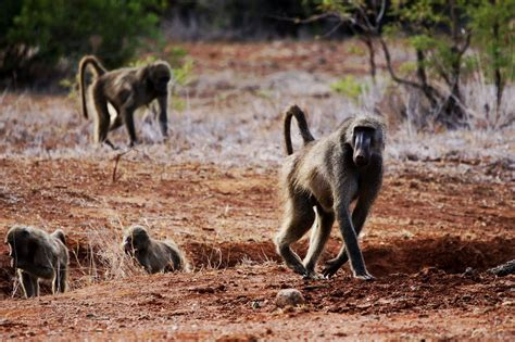 baboon phone desktop wallpapers pictures  bckground images