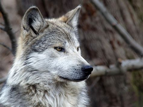 Wolf Howl Mountain Wolves 40 majestic gray wolf pictures and fur