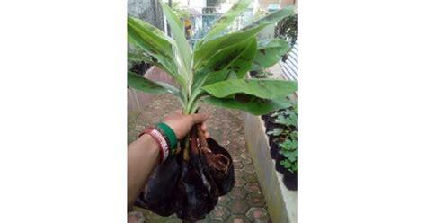 Jual Bibit Anggrek Kultur Jaringan jual bibit pisang cavendish kuning kultur jaringan