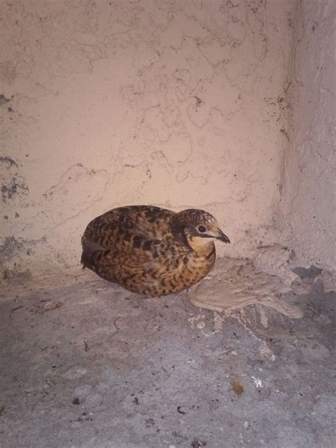 Zavera Twun By Quail i m confused about button quail colors backyard chickens