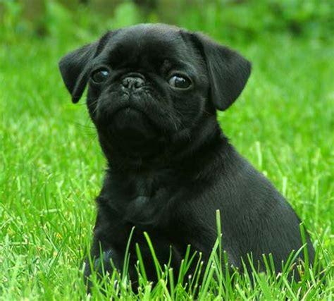 pug negro perros pug negros imagui