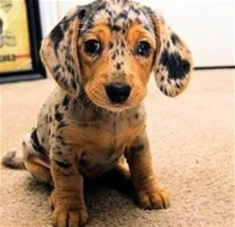 spotted dachshund puppies spotted dachshund adorable animals