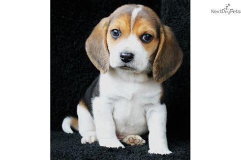 beagle puppies for sale in arkansas beagle puppy for sale near jonesboro arkansas 9539440c 28e1