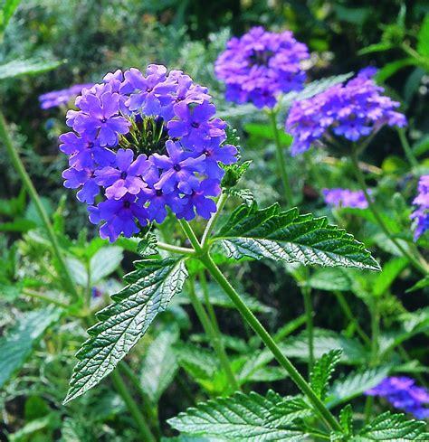 Fleurs Odorantes Pour Balcon by La Verveine Vari 233 T 233 S Culture Utilisation