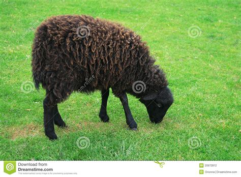 black sheep this or that black sheep ouessant sheep stock photography image