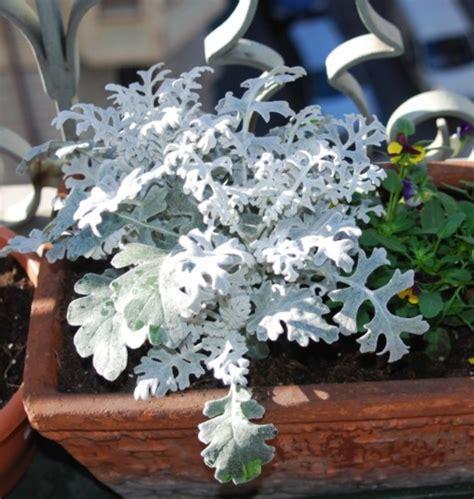 pianta fiorita tutto l anno piante invernali da balcone le specie fioriscono con