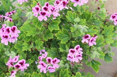 lemon fizz scented leaf geraniums plants by post mail order from specialist nursery