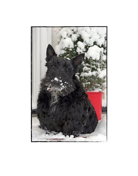 Scottie Cards - scottie greeting card by cattiecoyledesigns