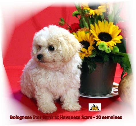 mylad havanese pictures of havanese 10 breeds picture