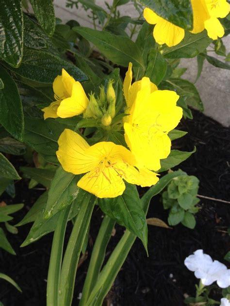 Plant Identification Closed Yellow Flower Long Thin Yellow Garden Flowers Identification