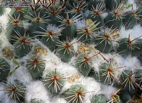 Desert Botanical Garden Gift Shop Plantfiles Pictures Mammillaria Mammillaria Sempervivi Var Tetracantha By Xenomorf