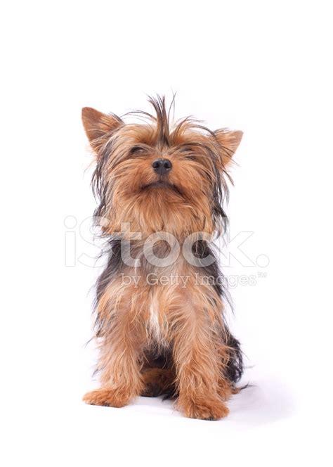 yorkie serenity yorkieserenity premium yorkies from yorkshire terrier isolated on a white background stock