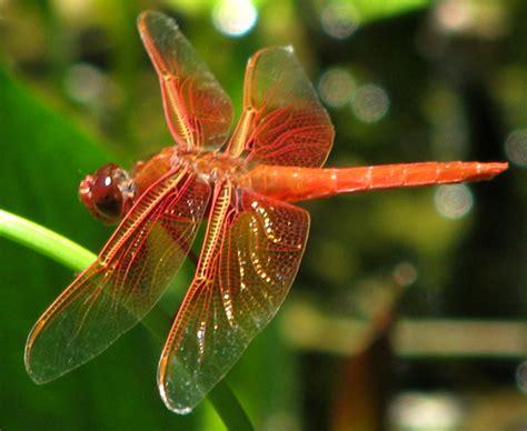 Common Dragonflies Of California california dragonflies redbud audubon society