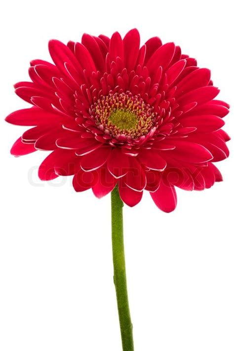Red flowers white background red flowers white background loading mightylinksfo Image collections